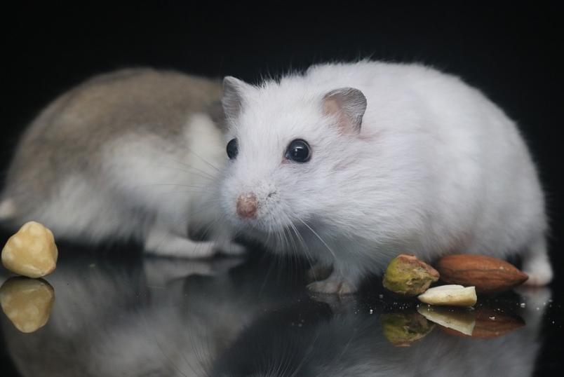 petits hamsters